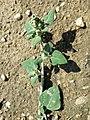 Chenopodium vulvaria sl120.jpg