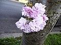 Cherry Blossom, London N14 - geograph.org.uk - 1262897.jpg