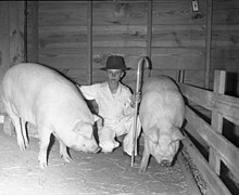 A boy with two Chester Whites raised as part of 4-H in Texas, circa 1940