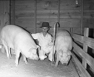 Chester White - A boy with two Chester Whites raised as part of 4-H in Texas, circa 1940
