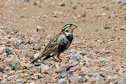 Chestnut-collared Longspur (Calcarius ornatus) (20325373986).jpg