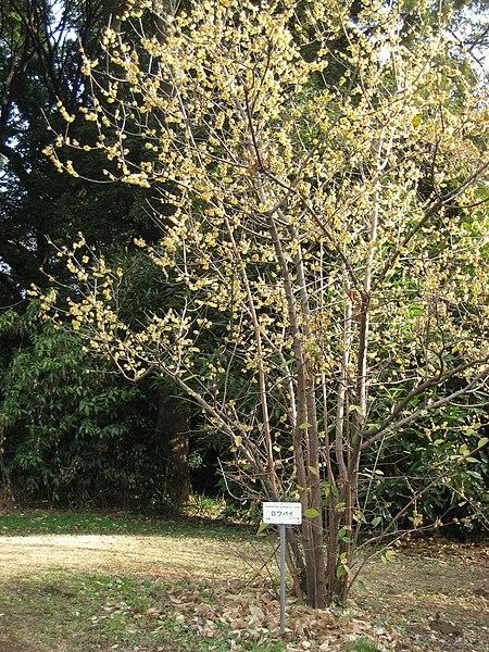 File:Chimonanthus praecox - Koishikawa gardens.jpg