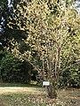 Chimonanthus praecox - Koishikawa gardens.jpg