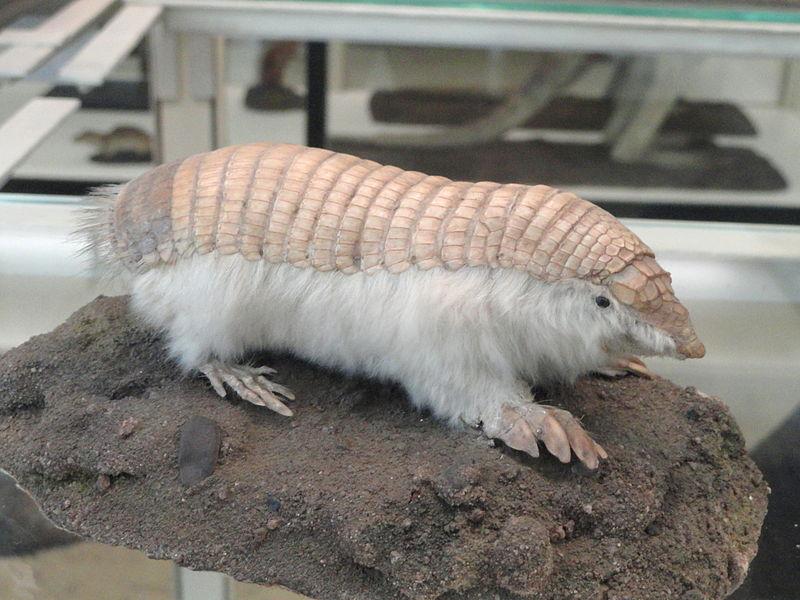 File:Chlamyphorus truncatus - Naturmuseum Senckenberg - DSC02081.JPG