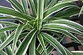 Chlorophytum comosum 9zz.jpg