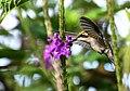 Chlorostilbon melanorhynchus (Esmeralda occidental) - Hembra - Flickr - Alejandro Bayer (6).jpg
