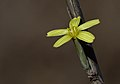 Chondrilla sp..jpg