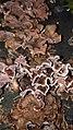 Chondrostereum purpureum 62177150.jpg