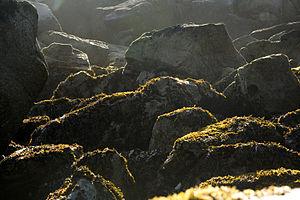 Kelp - Alaskan beach kelp