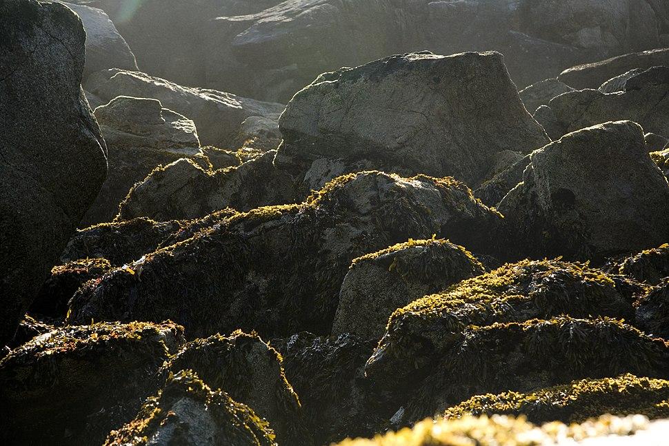 Chowiet Island beach kelp