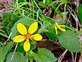 Chrysogonum virginianum - Green and Gold.jpg