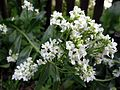 Chrzan pospolity - kwiat (5).jpg