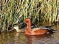 Cinnamon teal at Seedskadee National Wildlife Refuge (41982196372).jpg