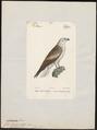 Circaëtus gallicus - 1842-1848 - Print - Iconographia Zoologica - Special Collections University of Amsterdam - UBA01 IZ18100247.tif