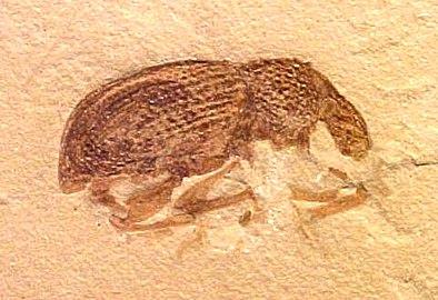 Circulionidae Green River Fm
