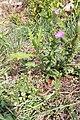 Cirsium vulgare-Chardon commun-20150904.jpg