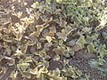 Citrullus lanatus in Iraq, Kurdistan.jpg