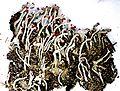 Cladonia macilenta var. macilenta.jpg