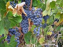 Clare Valley cabernet sauvignon