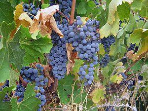Cabernet Sauvignon grapes. Photo taken at Skil...