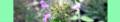 Clinopodium vulgare. Reader.png