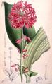 Clintonia andrewsiana cbm.png