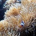 Clownfish (3172158638).jpg