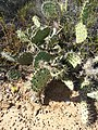Coastal Prickly Pear - Photo.jpg