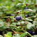 Coccocypselum sp.-IMG 0222.jpg