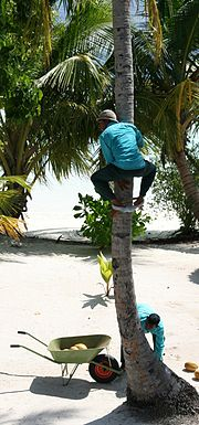 A man climbing a palm to harvest coconuts. Behind the palm a young plant is visible.