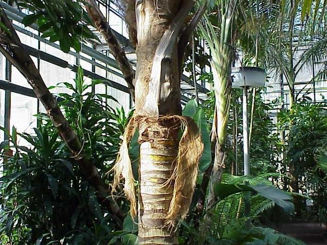 Cocos nucifera2