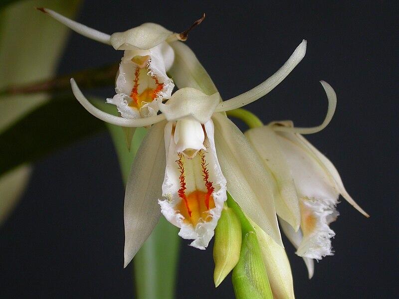 Няйф:Coelogyne calcicola.jpg