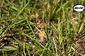Coenonympha pamphilus (Ochsenauge) im NSG Pfaffenhauser Moos .jpg