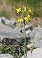 Coincya monensis inflorescence (1).jpg