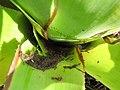Colônia de formigas na bromélia por Jani Pereira 04.jpg