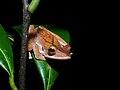 Collett's Tree Frog (Polypedates colletti) (6760925009).jpg