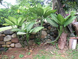 definition of dieffenbachia