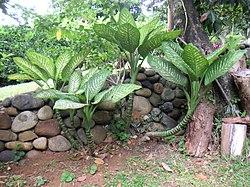 Dieffenbachia wikipedia la enciclopedia libre for Planta ornamental venenosa dieffenbachia