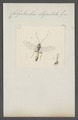 Colpotrichia - Print - Iconographia Zoologica - Special Collections University of Amsterdam - UBAINV0274 046 06 0177.tif