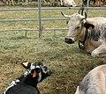 Comice agricole Revel abc13 Vosgienne (race bovine).jpg