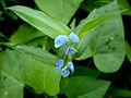 Commelina diffusa 2010-07-18 018 01.jpg