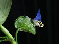 Commelina erecta 20141004.jpg