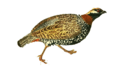 CommonFrancolin.png