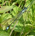 Common Bluetail. Ischnura elegans - Flickr - gailhampshire.jpg