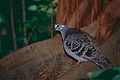 Common Bronzewing (Phaps chalcoptera) (9757412683).jpg