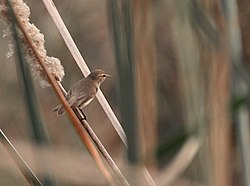 Common Chiffchaff (Phylloscopus collybita) in Delhi W Malaysia 035.jpg