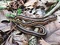 Common Garter Snake (33317486034).jpg