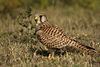 Common Kestrel struts the grassland.jpg
