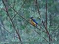 Common Kingfisher (Alcedo atthis) (28494936801).jpg