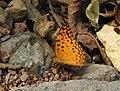 Common Leopard Phalanta phalantha by Dr. Raju Kasambe DSCN0554 (3).jpg